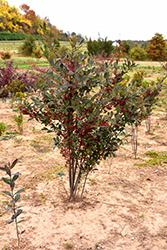 Brilliantissima Red Chokeberry (Aronia arbutifolia 'Brilliantissima') at Make It Green Garden Centre