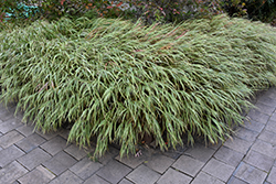 White Striped Hakone Grass (Hakonechloa macra 'Albo Striata') at Make It Green Garden Centre