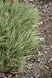 Variegated Grassy-Leaved Sweet Flag (Acorus gramineus 'Variegatus') at Make It Green Garden Centre