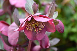 Penny's Pink Hellebore (Helleborus 'Penny's Pink') at Make It Green Garden Centre