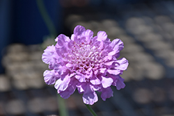 Flutter™ Rose Pink Pincushion Flower (Scabiosa columbaria 'Balfluttropi') at Make It Green Garden Centre