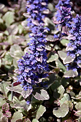 Burgundy Glow Bugleweed (Ajuga reptans 'Burgundy Glow') at Make It Green Garden Centre