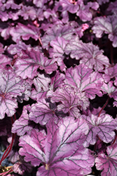 Forever® Purple Coral Bells (Heuchera 'Forever Purple') at Make It Green Garden Centre