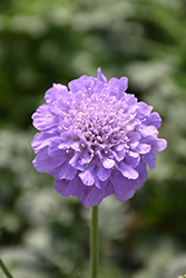 Flutter™ Deep Blue Pincushion Flower (Scabiosa columbaria 'Balfluttdelu') at Make It Green Garden Centre