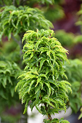 Lions Head Japanese Maple (Acer palmatum 'Shishigashira') at Make It Green Garden Centre