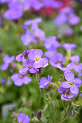 Cascade Blue Rock Cress (Aubrieta 'Cascade Blue') at Make It Green Garden Centre
