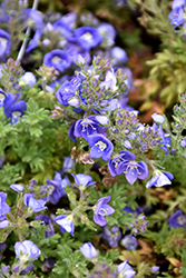 Whitley's Speedwell (Veronica whitleyi) at Make It Green Garden Centre