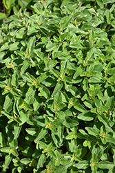 Greek Oregano (Origanum vulgare ssp. hirtum) at Make It Green Garden Centre