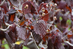 Red Majestic Corkscrew Hazelnut (Corylus avellana 'Red Majestic') at Make It Green Garden Centre