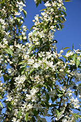 Rosthern Siberian Crab Apple (Malus baccata 'Rosthern') at Make It Green Garden Centre