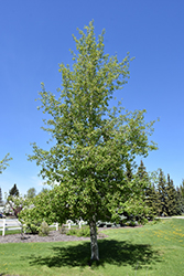Trembling Aspen (Populus tremuloides) at Make It Green Garden Centre