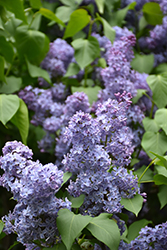 Wedgewood Blue Lilac (Syringa vulgaris 'Wedgewood Blue') at Make It Green Garden Centre