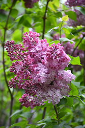 Excel Lilac (Syringa x hyacinthiflora 'Excel') at Make It Green Garden Centre