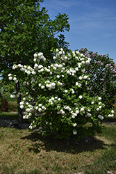 Snowball Viburnum (Viburnum opulus 'Roseum') at Make It Green Garden Centre