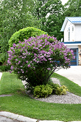 Donald Wyman Lilac (Syringa x prestoniae 'Donald Wyman') at Make It Green Garden Centre