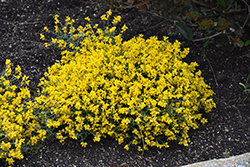 Bangle® Dyers Greenwood (Genista lydia 'Select') at Make It Green Garden Centre