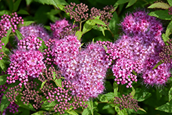 Anthony Waterer Spirea (Spiraea x bumalda 'Anthony Waterer') at Make It Green Garden Centre