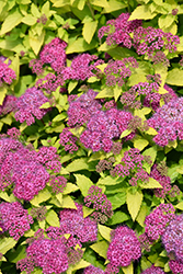 Double Play® Gold Spirea (Spiraea japonica 'Yan') at Make It Green Garden Centre