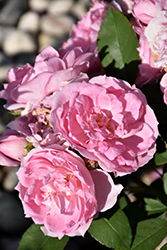 Prairie Joy Rose (Rosa 'Prairie Joy') at Make It Green Garden Centre