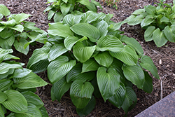 Plantain Lily (Hosta plantaginea) at Make It Green Garden Centre