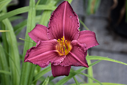 Summer Wine Daylily (Hemerocallis 'Summer Wine') at Make It Green Garden Centre
