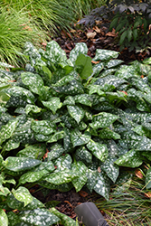 Sissinghurst White Lungwort (Pulmonaria 'Sissinghurst White') at Make It Green Garden Centre