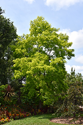 Frisia Locust (Robinia pseudoacacia 'Frisia') at Make It Green Garden Centre