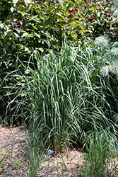Thundercloud Switch Grass (Panicum virgatum 'Thundercloud') at Make It Green Garden Centre