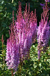 Superba Chinese Astilbe (Astilbe chinensis 'Superba') at Make It Green Garden Centre