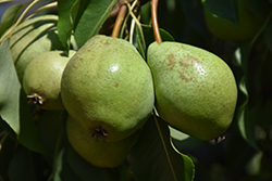 Luscious Pear (Pyrus communis 'Luscious') at Make It Green Garden Centre