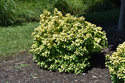 Glow Girl® Birch Leaf Spirea (Spiraea betulifolia 'Tor Gold') at Make It Green Garden Centre