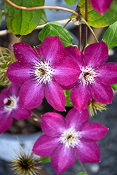 Viva Polonia Clematis (Clematis 'Viva Polonia') at Make It Green Garden Centre