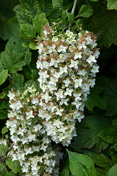 Snowflake Hydrangea (Hydrangea quercifolia 'Snowflake') at Make It Green Garden Centre