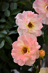 Oso Easy® Italian Ice® Rose (Rosa 'Chewnicebell') at Make It Green Garden Centre