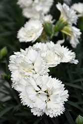 Early Bird™ Frosty Pinks (Dianthus 'Wp10 Ven06') at Make It Green Garden Centre