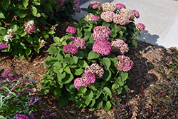 Invincibelle® Mini Mauvette Hydrangea (Hydrangea arborescens 'NCHA7') at Make It Green Garden Centre