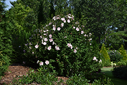 Pink Chiffon® Rose of Sharon (Hibiscus syriacus 'JWNWOOD4') at Make It Green Garden Centre