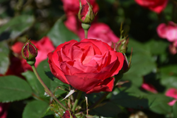 Oso Easy Double Red Rose (Rosa 'Meipeporia') at Make It Green Garden Centre