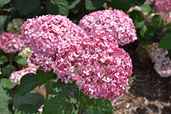 Invincibelle® Spirit II Smooth Hydrangea (Hydrangea arborescens 'NCHA2') at Make It Green Garden Centre