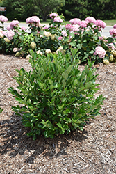 Low Scape® Hedger Aronia (Aronia melanocarpa 'UCONNAM166') at Make It Green Garden Centre
