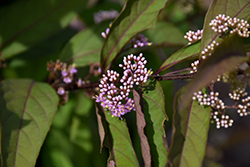 Purple Pearls® Beautyberry (Callicarpa 'NCCX1') at Make It Green Garden Centre