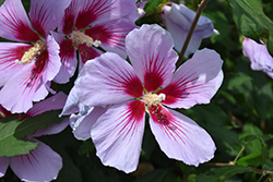 Orchid Satin® Rose of Sharon (Hibiscus syriacus 'ILVO347') at Make It Green Garden Centre