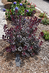 Winecraft Black® Smokebush (Cotinus coggygria 'NCCO1') at Make It Green Garden Centre