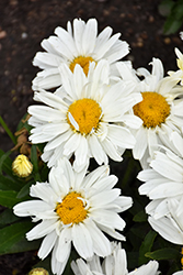 Cream Puff Shasta Daisy (Leucanthemum x superbum 'Cream Puff') at Make It Green Garden Centre
