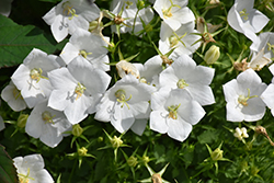 White Clips Bellflower (Campanula carpatica 'White Clips') at Make It Green Garden Centre
