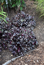 Black Pearl Coral Bells (Heuchera 'Black Pearl') at Make It Green Garden Centre