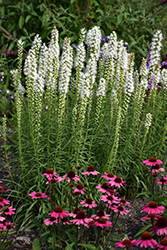 Floristan White Blazing Star (Liatris spicata 'Floristan White') at Make It Green Garden Centre