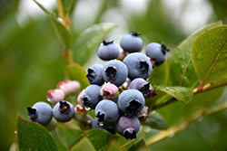 Patriot Blueberry (Vaccinium corymbosum 'Patriot') at Make It Green Garden Centre