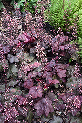 Carnival Candy Apple Coral Bells (Heuchera 'Candy Apple') at Make It Green Garden Centre