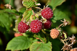 Heritage Raspberry (Rubus 'Heritage') at Make It Green Garden Centre